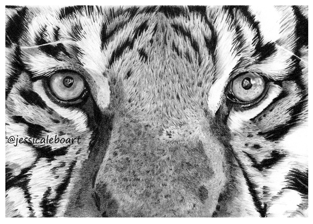 fine art graphite pencil drawing animal close up tiger eyes