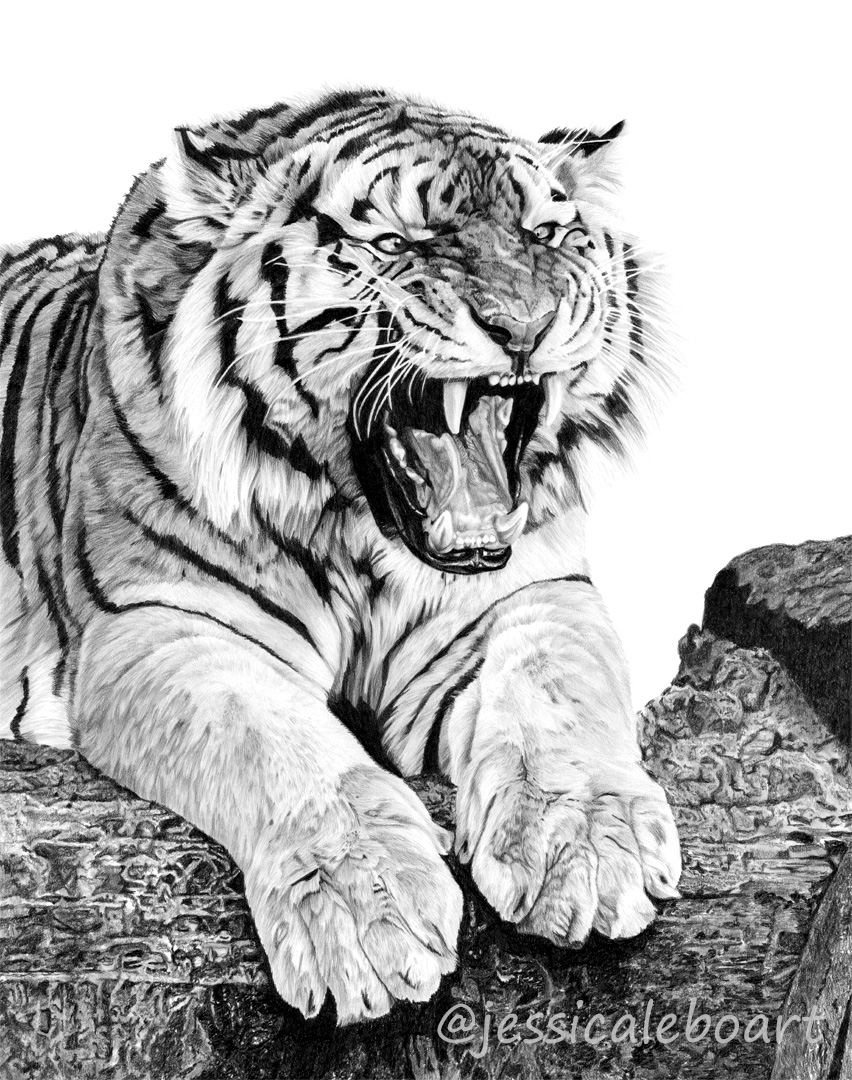 tiger growling graphite pencil fine artwork drawing wildife