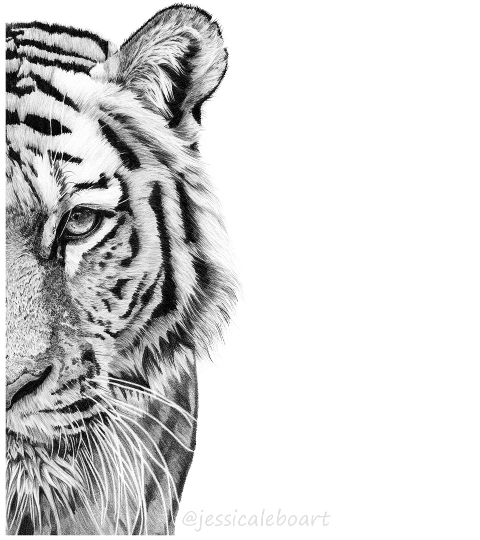 graphite pencil realistic tiger drawing