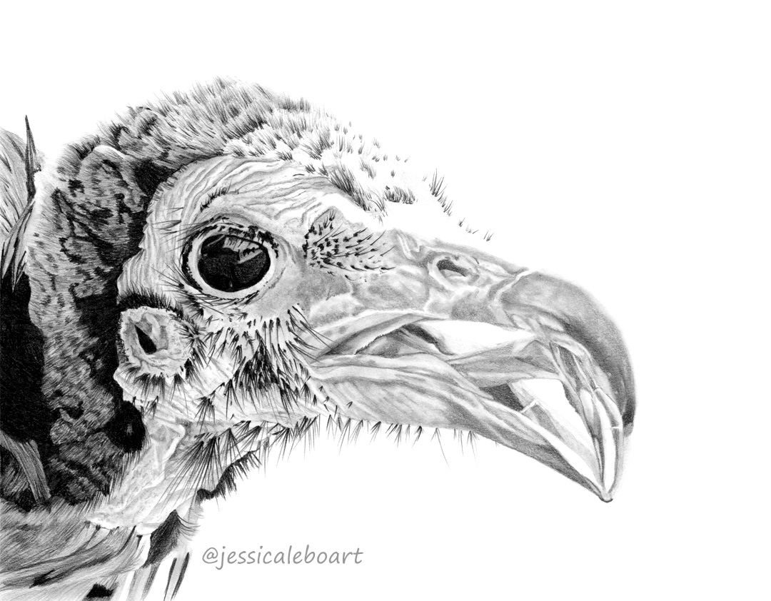 vulture drawing graphite pencil bird art