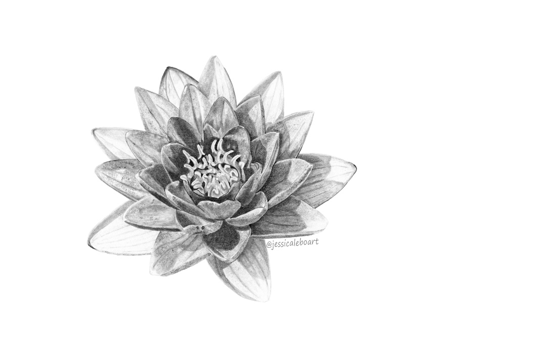 fine art graphite pencil drawing flower water lily