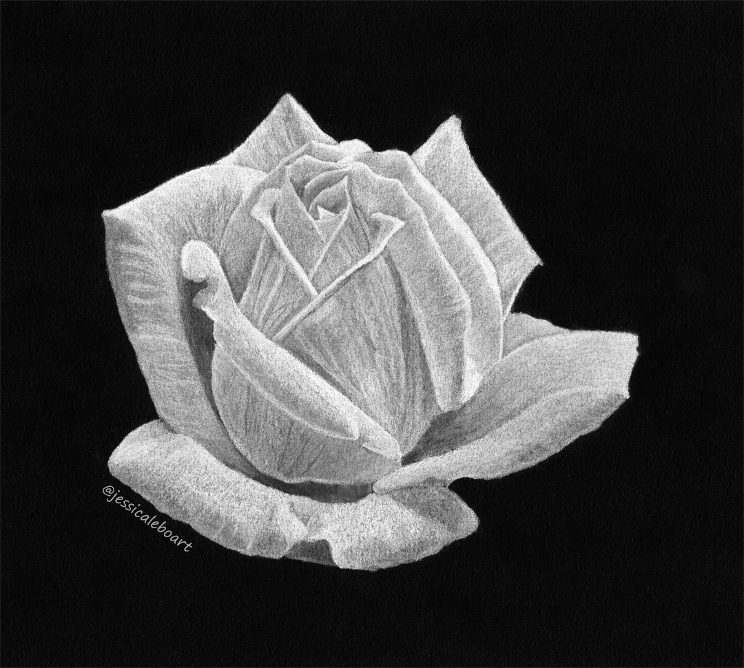 fine art white charcoal pencil drawing on black paper flower white rose