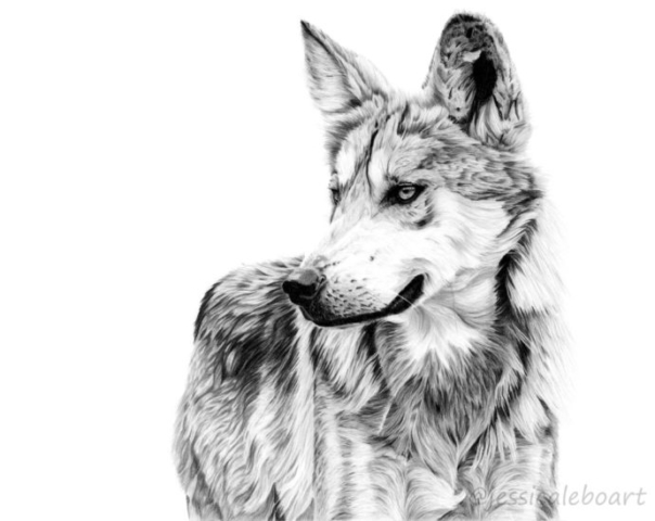 graphite pencil wolf drawing realistic fine art animal
