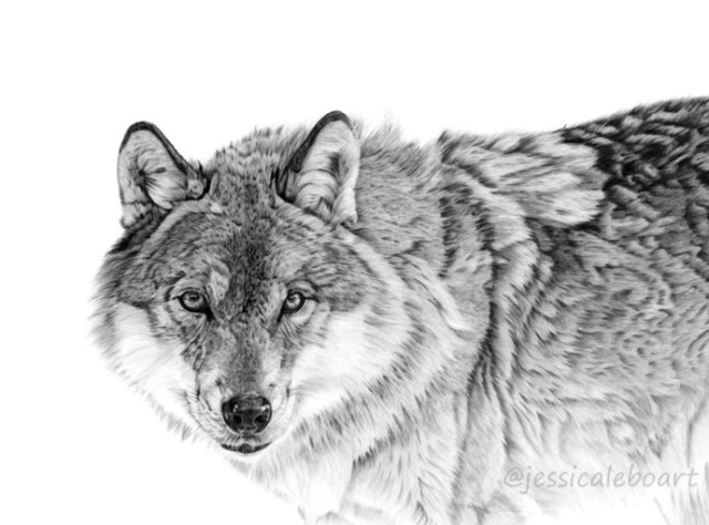 wildlife drawing realistic animal art pencil painting