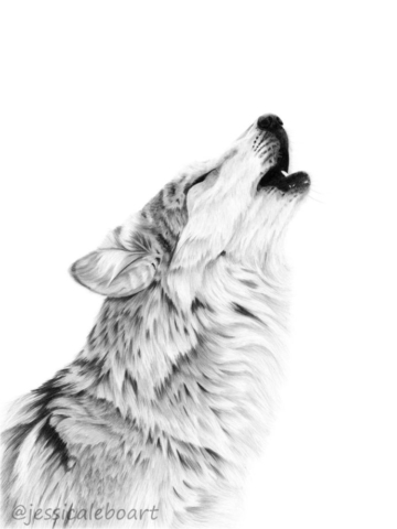 howling wolf drawing graphite pencil art