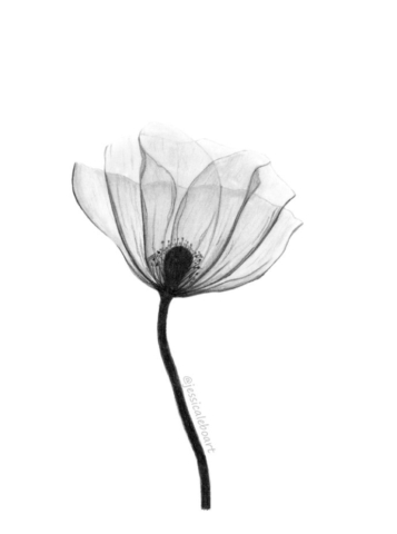fine art graphite pencil drawing flower x-ray poppy