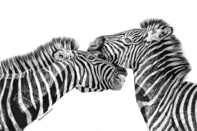 fine art graphite pencil drawing animals zebras