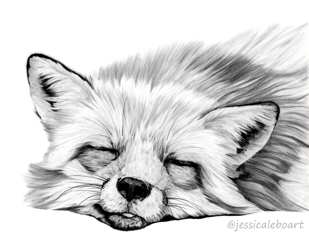 sleeping fox graphite pencil animal drawing