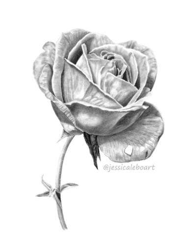 graphite pencil drawing rose with stem