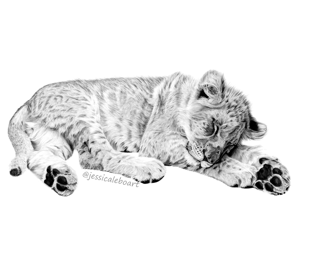 graphite pencil lion drawing sleeping cub fine art