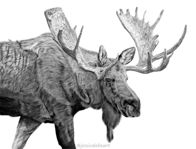 graphite pencil animal art drawing bull moose