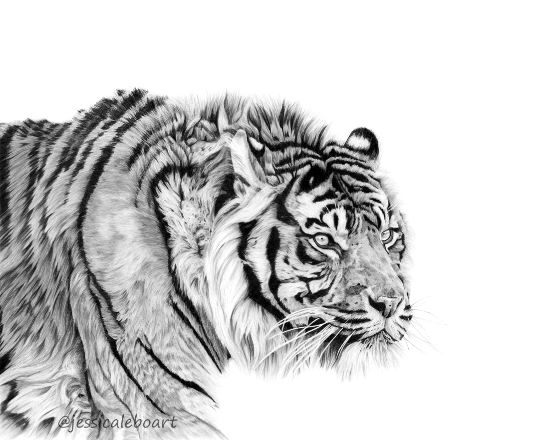 animal art graphite pencil tiger drawing big cat artwork