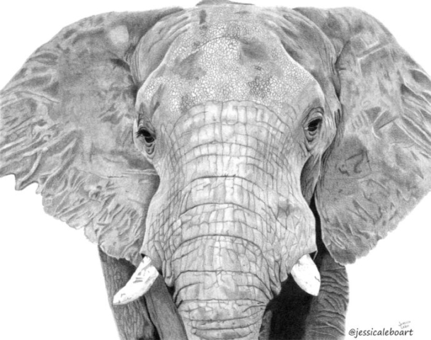 fine art graphite pencil drawing animal elephant